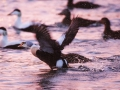 _MAB2256king eider low.jpg
