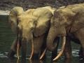 forest elephant.jpg