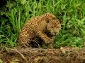 151 IMG_6403 Giaguaro (Panthera onca) low.jpg