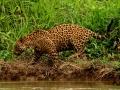 178 IMG_6455 Giaguaro (Panthera onca) low.jpg