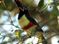 544 IMG_7202 Aracari orecchiecastane (Pteroglossus castanotis) low.jpg