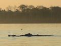 991 IMG_8089 Inia o delfino rosa di fiume (Inia geoffrensis) low.jpg
