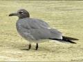 _DSC0177 Lava Gull (Larus fuliginosus) low.jpg