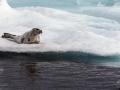 Foca_Groenlandia_2.jpg