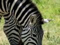 708 Zebra (Equus quagga) low.jpg
