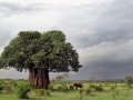baobab e elefante - Tarangire (Tanzania). G. Neto low.jpg
