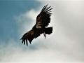 Gymnogyps californianus - Condor della California (USA).jpg