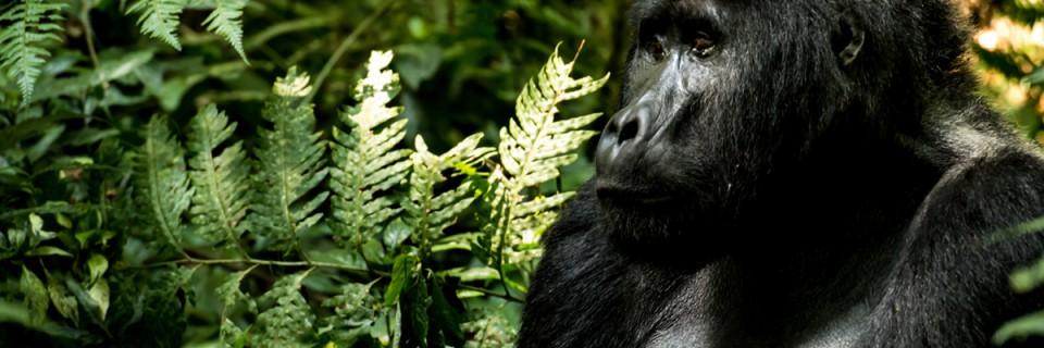 Le montagne dei gorilla