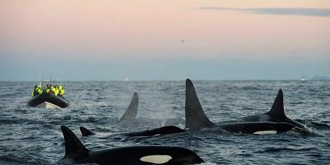 A caccia con le orche